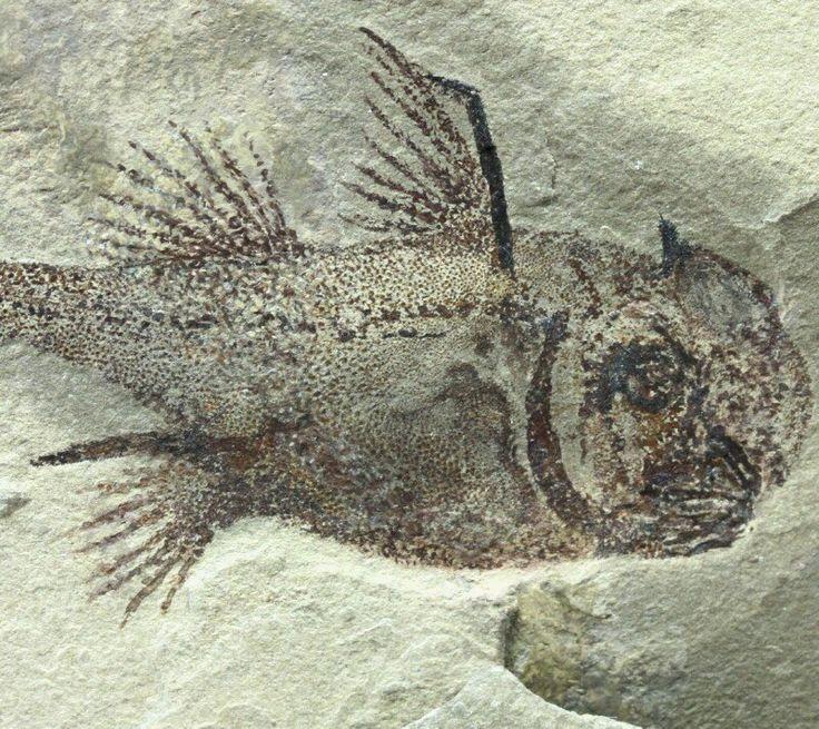 Echinochimaera meltoni  Class Chondrichthyes, Subclass Holocephali, Order Chimaeriformes, Family Echinochimaeridae  Geological Time: Mississippian (~320 m.y.a.)  Size (25.4 mm = 1 inch): Fish fossil: 80 mm long on a 230 mm by 130 mm matrix and 60 mm on a 55 mm by 40 mm matrix   Fossil Site: Heath Shale Formation, Bear Gulch Limestone, Fergus County, Montana