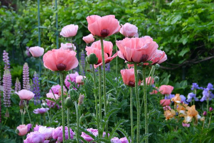ORIENTAL POPPIES - Easy to grow and maintain