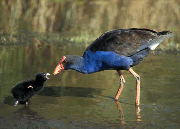 Pukeko Feeding Chick