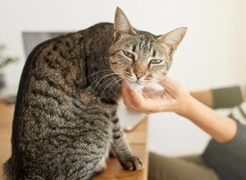 The Cat Health Mewsletter: Volume 181  While you're learning fun facts about cats, consider challenging some of   the knowledge that you already have. There are lots of myths and   misunderstandings commonly held by people about our feline companions.
