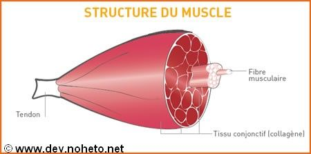 Kinesiology Muscle Building Prescription