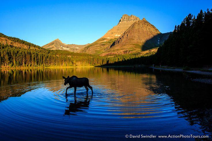 Moose Calf by David Swindler   Earth Shots