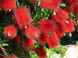 Callistemon, ou rince-bouteille : conseils de culture, de plantation, espèces et variétés pour cet arbuste original à floraison d'été.