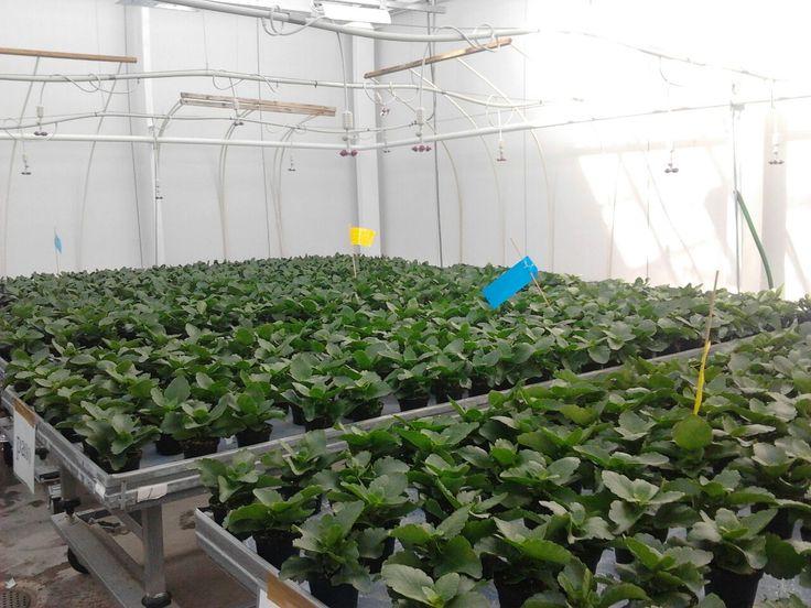 Tässä ovat Lepaan Taimien tulilatvan taimet alkumetreillään. Käyt tykkäämässä https://www.facebook.com/lepaantaimet