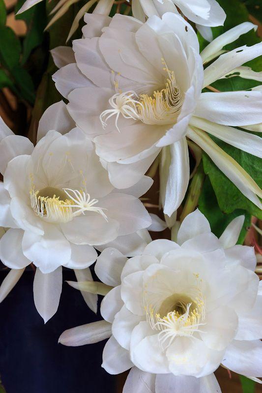 月下美人咲く : 花景色-K.W.C. PhotoBlog