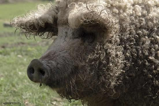 Question: What would happen if you cross a pig and a sheep? Answer: Wooly pig!