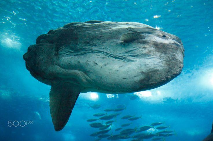 Moonfisch, (Mola Mola) - Mondfisch (Mola Mola), Aquarium, Oceanario de Lisboa, Lissabon, Portugal, Europa, Lissabon, Portugal   I  Moonfisch, (Mola Mola), Aquarium, Oceanario de Lisboa, Lisbon, Portugal, Europe