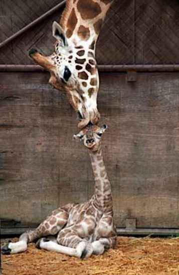 A wild animals picture of a baby Giraffe kiss in the zoo. This amazing mammals photo in the parks pen is of the mother showing affection.