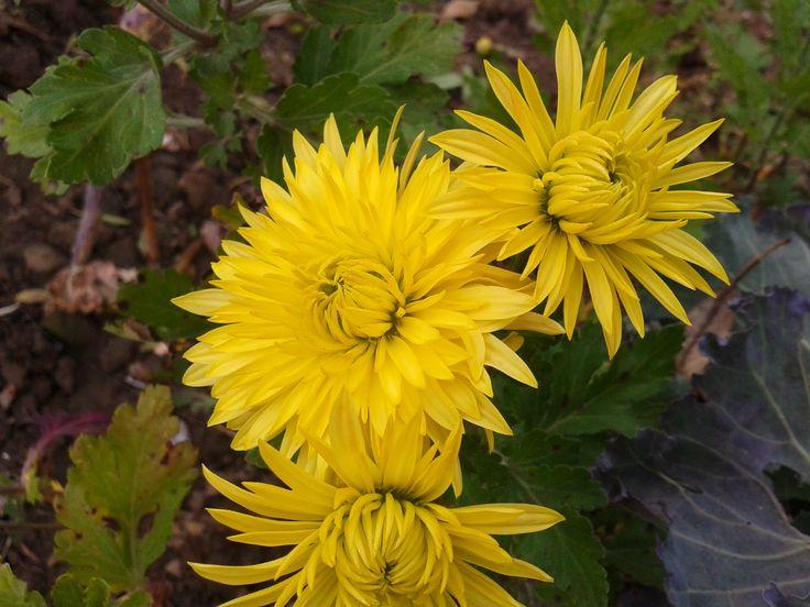chryzantéma žltá
