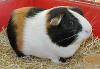 mundo roedores: Razas de cobayas
