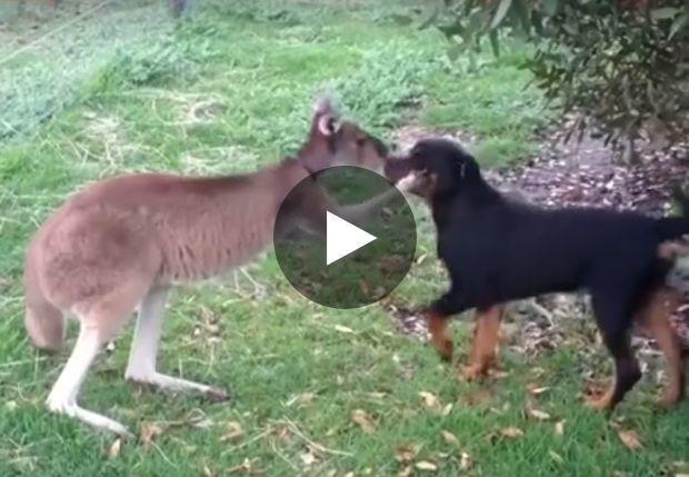 Entre ce chien et ce kangourou, c'est apparemment le coup de foudre
