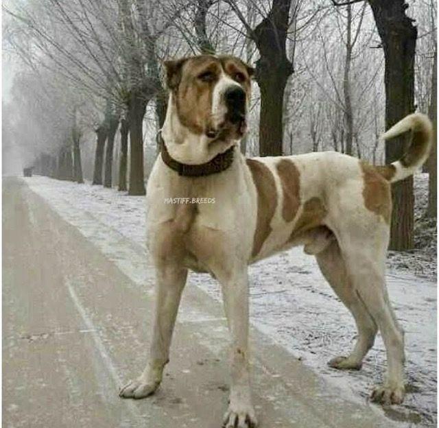 Persian Mastiff-10