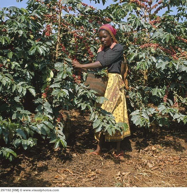 Woman harvesting Arabica coffee berries - Kenya