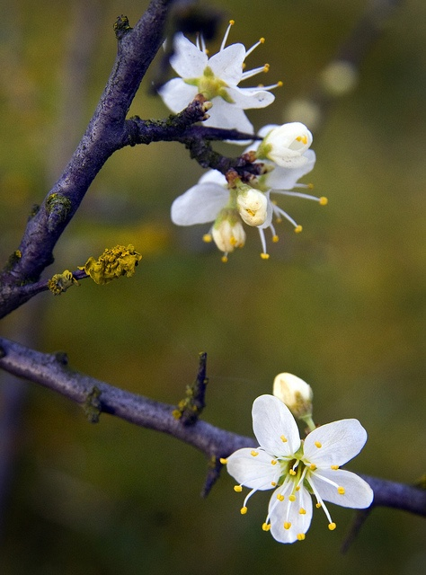 Blackthorn blossom. The Blackthorn symbolises difficulty in the Victorian language of flowers.