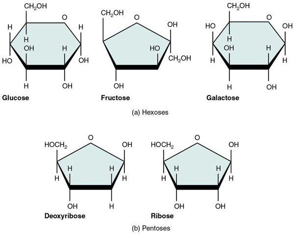 Image Result For Monosaccharide Ring Biology Notes Carbohydrates Biology Biology