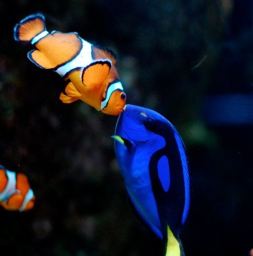 Awwwwww! Nemo and Dory (Clownfish and Powder Blue Tang)