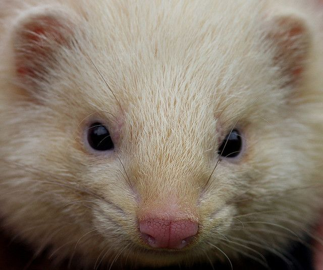 Ferret_3 by Adrian Hamilton, via Flickr
