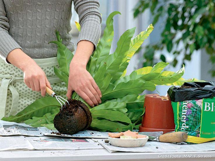 Plante d'intérieur rempoter