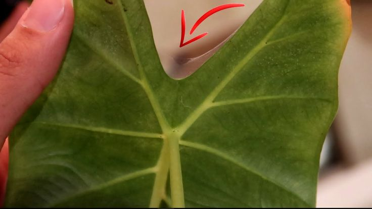 Dealing with spider mites guide alocasia frydek in 2020