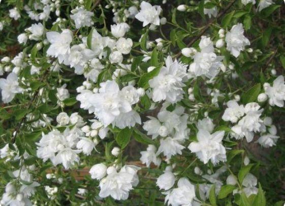 Кто же не хотел бы иметь на своем участке такое прекрасное растение, как жасмин? Чтобы этот цветок мог радовать вас долгие годы, мы предлагаем ознакомиться с одним из наиболее распространенных способов размножения жасмина – черенками, описанным в нашей статье.