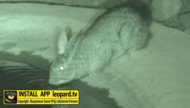 Learn something about the scrub hare! #leopardtv #science #study