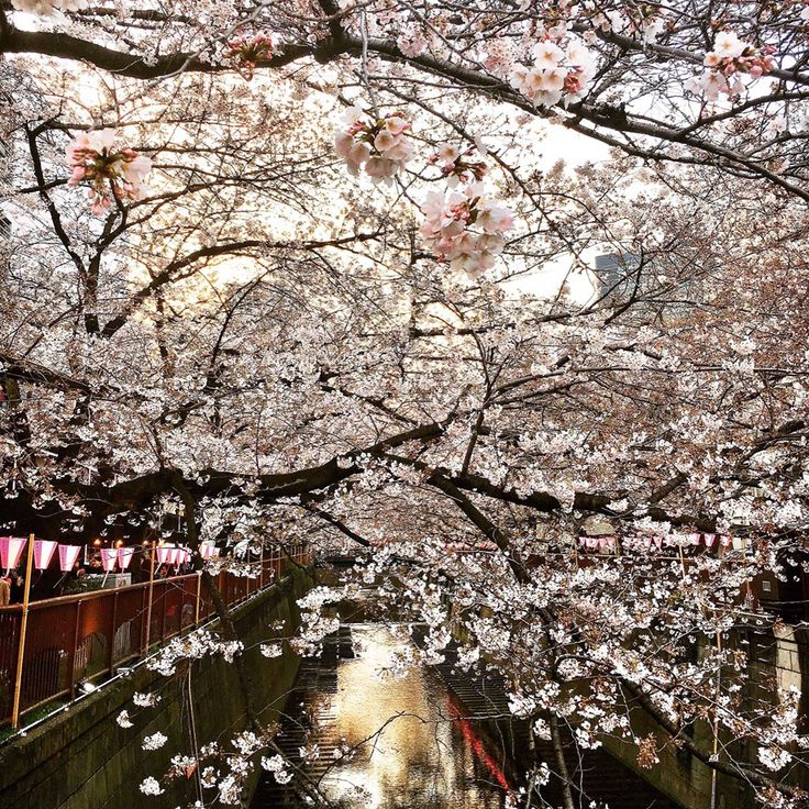 📍Tokyo, Japan: For the last leg of our Asia trip, we arrived in Tokyo just in time for #cherryblossom season! 🌸 To enjoy the #sakura, we went to #shinjukugyoen, #aoyamareien, and #nakameguro. We also took a rowboat out at #chidorigafuchi before flying home, just in time to see our own cherry blossoms at #brooklynmuseum! Catch up on #BKMAsianart researcher Amanda Imai's journey throughout Asia at @curatorialchronicles and bit.ly/bkminasia.