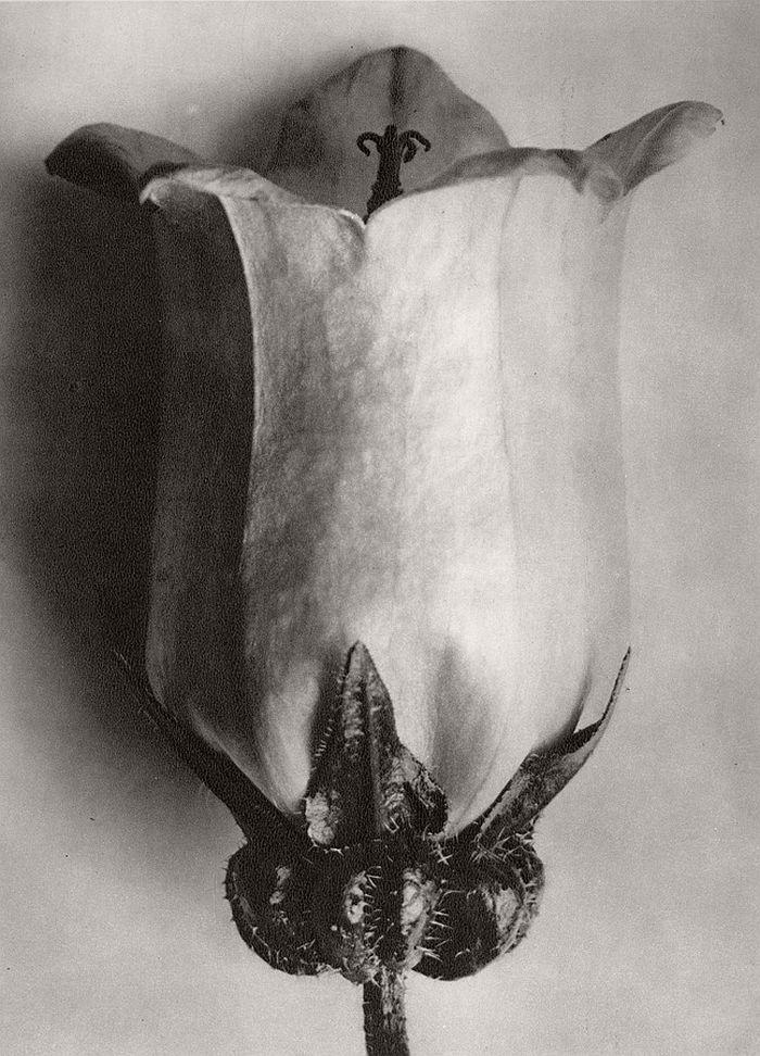 Biography: Fine Art / Botanical photographer Karl Blossfeldt | MONOVISIONS