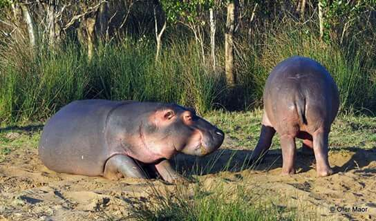 Hippo's chilling next to the Estuary