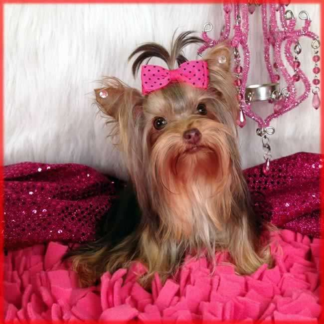 teacup pomeranian for sale in nj best 25 yorkie puppies for adoption ideas on pinterest 444