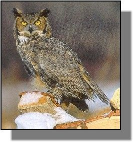 Google Image Result for http://www.gpnc.org/images/jpegs/animals/owlgh.jpg