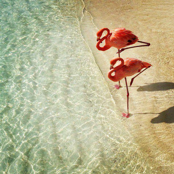Flamingos  on the beach at Renaissance Island, a private resort in Aruba.