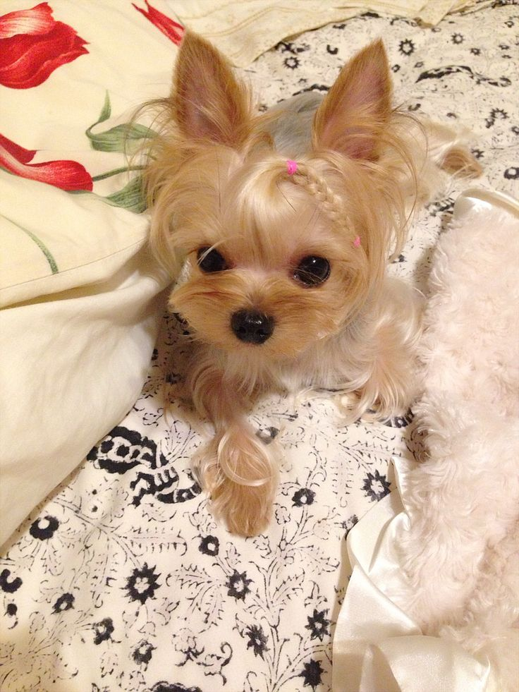 157 Best Cutest Yorkies Images On Pinterest Fluffy Pets