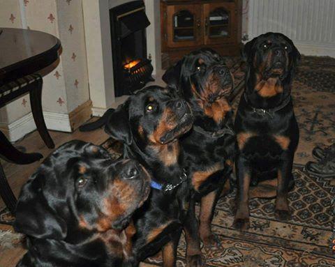 What dog should i get Cane Corso or Rottweiler?