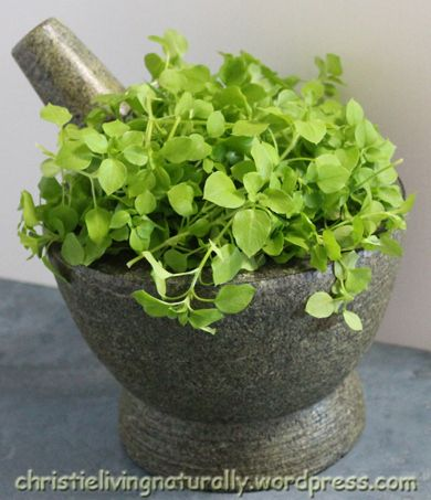 My Amazing Chickweed Pesto Recipe. Enjoy the amazing health benefits of this 'Superfood', while eating some of your favorite foods.