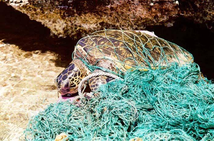 Turtle entangled in marine debris (ghost net)    http://en.wikipedia.org/wiki/File:Turtle_entangled_in_marine_debris_%28ghost_net%29.jpg