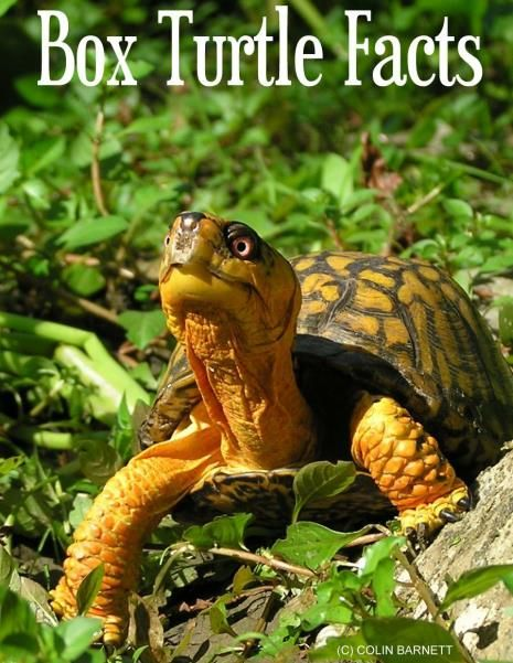 Learn more about Box Turtles