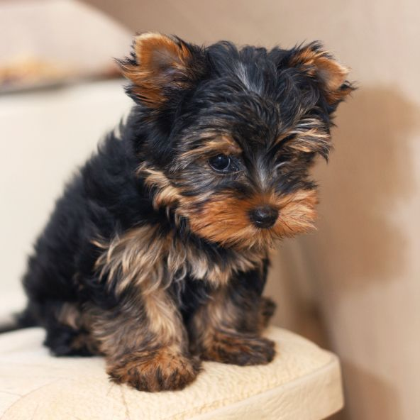 Yorkshire Terrier. Want more? Followhttp