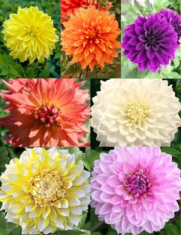 Ultimate Dinnerplate Dahlia Collection with 7 tubers & 17 best dahlias and mums images on Pinterest | Beautiful flowers ...