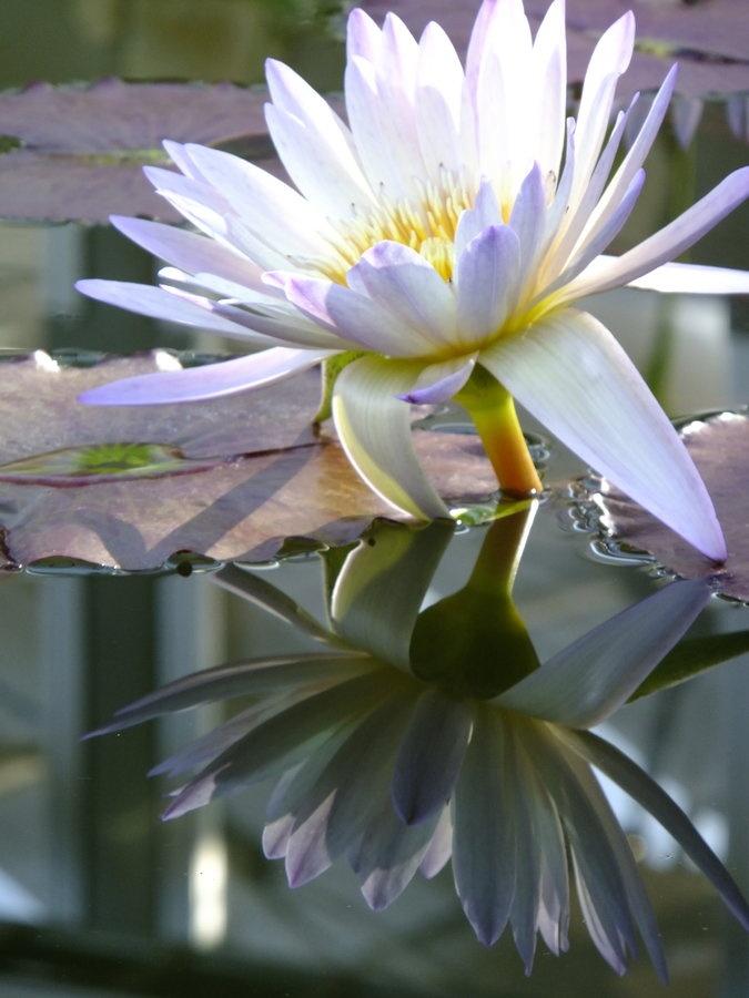 47 best lotus flowers images on pinterest lotus blossoms lotus lotus flower mightylinksfo