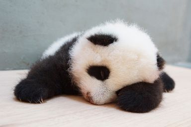 PANDA BABY!(from Chinese Taipei)