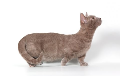 Munchkin cat:   The Munchkin cat breed is a small to medium sized cat weighing between 5-9 pounds when fully grown. Only their short legs make the Munchkin cat look different to any other normal cat.