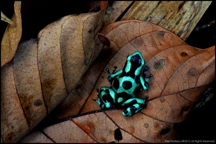 Dendrobates aratus o rana dardo. Tremendamente venenosa y tremendamente bella.