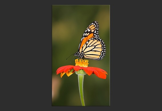 Stampa su Tela 'Farfalla sui fiori'