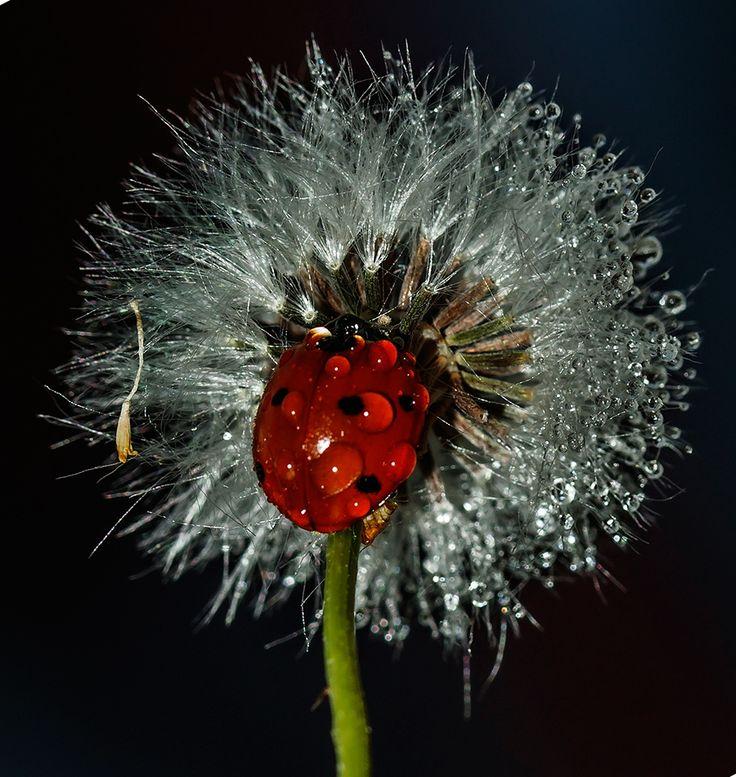 Ladybug on Dandelion, creating her own flower !IEC