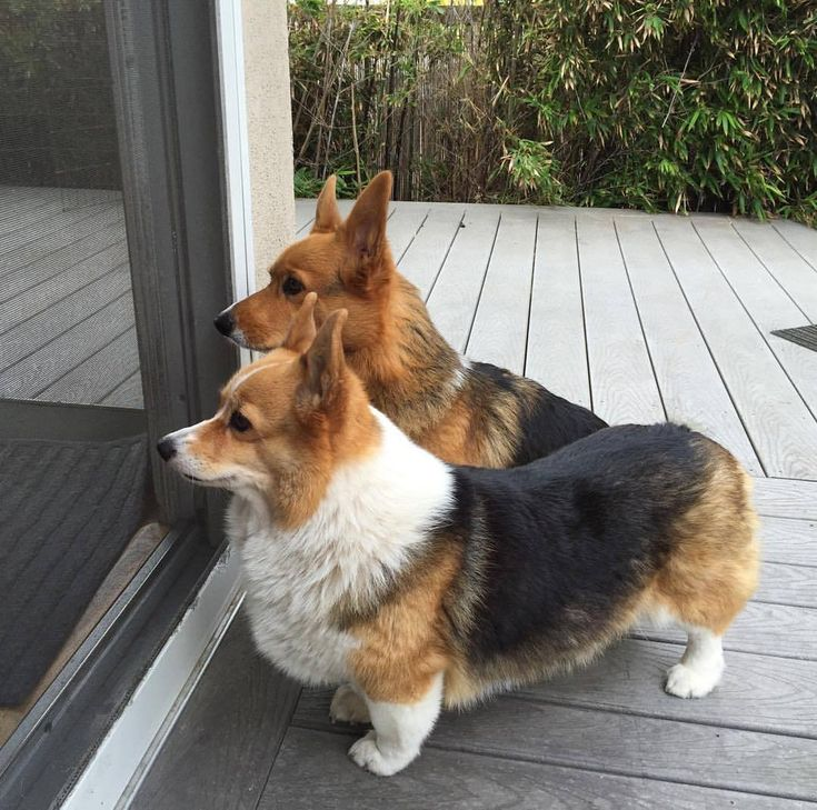 Three Corgis, action photos, Corgi love — Corgi posture #threecorgis #corgi #dogsofig (at...