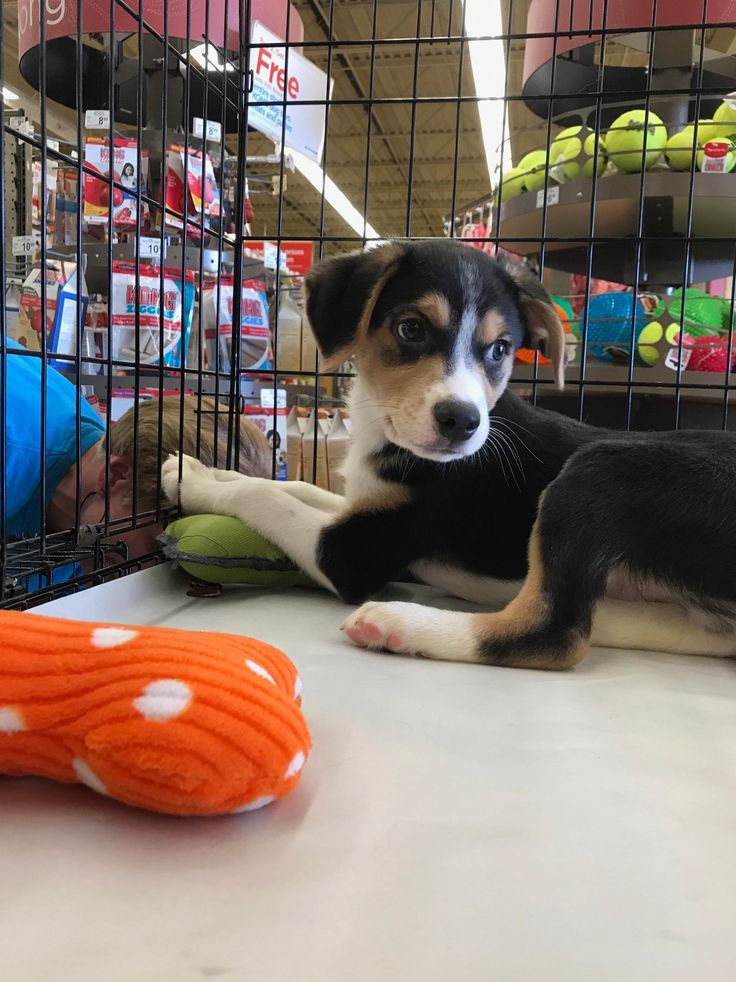Meet Walker, an adoptable Beagle looking for a forever home. If you're looking for a new pet to adopt or want information on how to get involved with adoptable pets, Petfinder.com is a great resource.
