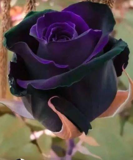 Stunning black purple rose