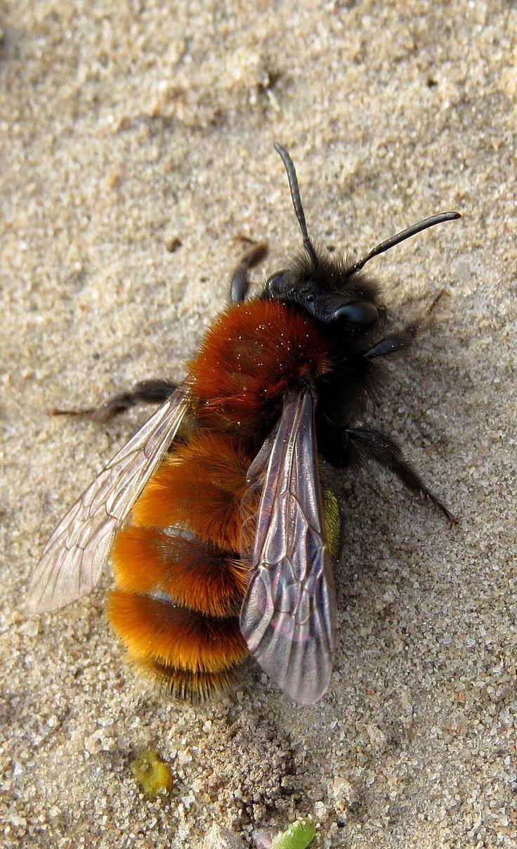 Tawny mining bee  (Andrena fulva), vosje