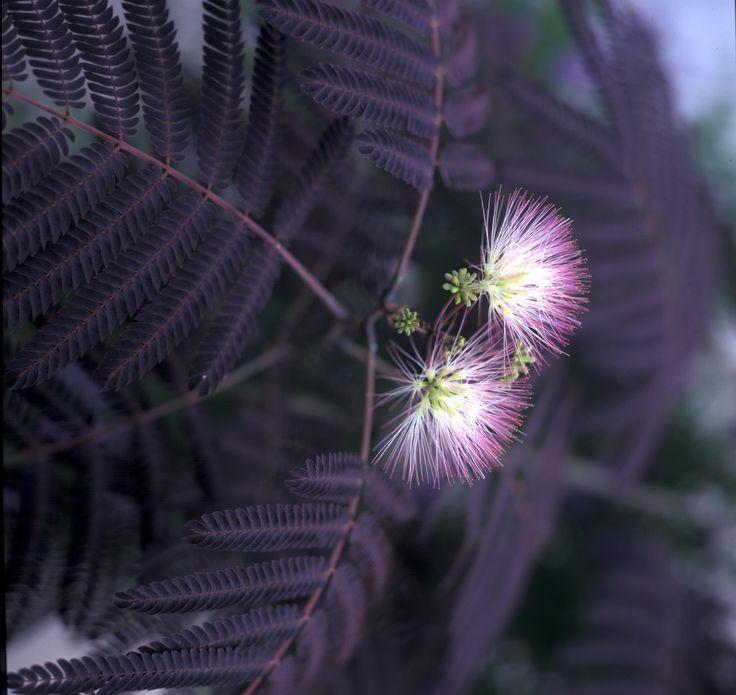 ALBIZIA julibrissin 'Summer Chocolate' (BA2/BG11/BG9) ↕ 7m, port en plateau. Feuillage pourpre, fleurs rose pâle. Zone 8b(-9°C)