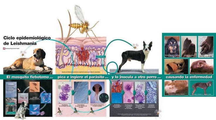 Ciclo vital de la Leishmania, que tanto daño causa a los perros de nuestra zona.